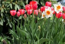 BULBS / Beautiful flowers from bulbs to dress up your yard every spring and fall.