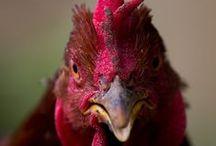 Chicken Selfies