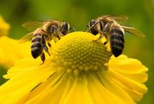 Busy Bee / We can't live without bees.