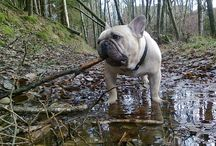 Ville, Fransk bulldog. / Fransk bulldogg, French bulldog, dog, hund