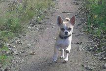 Chihuahua, Zigge / Chihuahua, dog, hund
