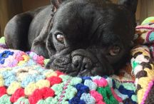 // b a r t / all things Bart | french bulldog | squishy face | @bartthefrenchie