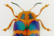 """Meet the Beetles! / The order of Choleoptera has more than 350 thousand different species in it. Check out the diversity in this board of """"Meet the Beetles!"""" / by Mindy Lighthipe"""