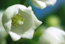 White flowers / by Karen Snyder