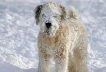 Snow Dogs  / Doggies enjoying the snow!