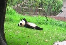 pandas / najsłodsze zwierzęta świata ♥