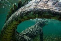 REF: Animals Reptilia / Crocodile/Alligator