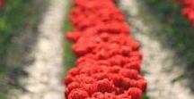 Flowers and Gardens / flowers, gardens, gardening, floral arrangements, flower photographs