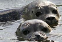 Foques - Seals