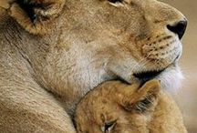 Lioness / Images & inspiration drawn from this most magnificent of creatures.  See also my board on mother bears.