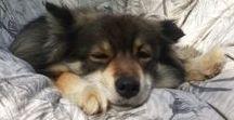 Our dog(s) - koiramme / Minulle on aina ollut ainoa mahdollinen rotu suomenlapinkoira, niinpä heitä onkin kuulunut elämäämme vuodesta 2004