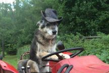 My dogs... / German Shepherd. Dog playing. Cute puppy. Chihuahua.  Life on the farm