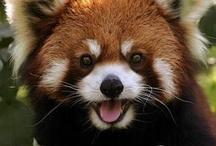 Red Panda Kingdom