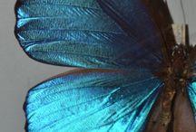 Morpho / Mariposas y otros?