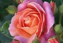 róże / kwiaty