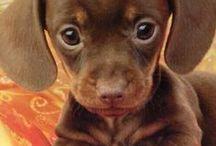 Daschund Pups