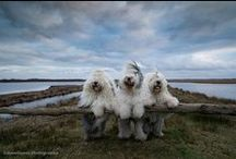 Old English Sheepdogs 3 / honden / by Connie Vissers