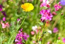 Les fleurs des champs