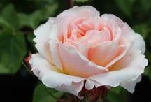 New Roses for Lorraine / A selection of roses in a variety of colors to add to your existing rose bed. Our experts think you could fit about four more into your existing rose garden. We also added some suggestions for a drip irrigation system. For more information on rose care and a great rose fertilizer recipe go to: http://swansonsnursery.com/plant-care/ and look in the shrubs and trees category.