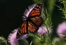 Butterflies and Moths / The plentiful wildflowers at Innsbrook make it an ideal destination for butterflies!  www.innsbrook-resort.com