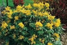Mahonia - for the winter garden / Mahonia is a lush evergreen shrub with beautiful plum-red new growth and cheerful, honey-scented yellow flowers November-March. Mahonia flowers and berries attract birds (hummingbirds!) and bees. A fabulous addition for year-round interest and color in the winter garden. Read about Mahonia's history on our Blog: http://swansonsnurseryblog.com/2015/01/16/virtues-of-charity-mahonia/