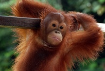 Save the Orangutans!!! Awareness starts with a PIN! / by Sharon Bloomfield