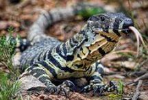 HD Lizard Wallpapers / Only the Best in HD Lizard Wallpapers