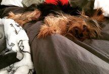 Yorkshire / Yorkshire Terrier