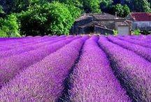 《 lavender love 》
