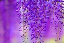 Violet,Purple
