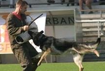 My love ... the German Shepherd