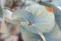 ortensie / hortensias / hydrangeas