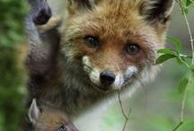 Volpi / Fox