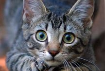 Felines / All species of felines, but especially for the sweet and cuddly domestic cats! / by Deborah Browning