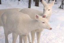 nezvykle zbarvení jelenovití + mufloni a pod.