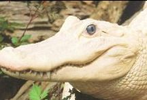 krokodýli,aligátoři - jiné zbarvení