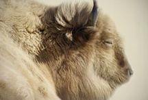 skot,buvoli a bizoni - neobvyklá zbarvení