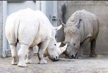 sloni,hroši,nosorožci