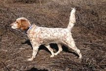 Hunting Dog Pics / Just a bunch of bird dogs doing their thing.