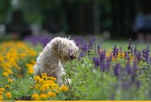 Wheatens / Irish soft-coated wheaten terriers