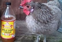 Chickens ARE HERE NOW!! / My chicken obsession / by Michele Fife-wotv