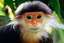 Monkeys of all kinds  / Primates of all kinds - simians and pro-simians (apes are on separate boards)