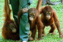 Orangutans / Orangutans live in the rainforests of Borneo and Sumatra - and could soon be extinct in the wild due to rapid deforestation, largely to make way for vast palm oil plantations.  Say No To Palm Oil!  A short list Orangutan rescue websites is at http://bit.ly/1bVcXzl. Also, please see http://www.saynotopalmoil.com for detailed information.