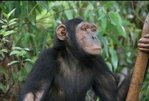 Chimpanzees / Chimpanzee - Chimp - Pan troglodytes. Noisy, intelligent, boisterous, robust, curious, and social. I just love these guys. Closely related to Bonobos.