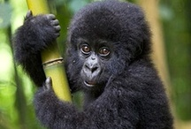 Gorillas / Mountain and lowland gorillas. The largest primate by size.  Ground-dwelling, herbivorous, sensitive, gentle, and perhaps surprisingly, peaceful by nature.