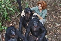 Bonobos / Bonobo - Pygmy Chimpanzee - Gracile Chimpanzee - Pan paniscus. This species of ape is the calmer and more peaceful relative of the chimpanzee - more 'make love not war' : )
