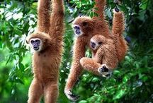Gibbons / All species of Gibbon - the 'lesser' ape. Smaller than the 'great' apes - orangutans, chimpanzess, gorillas, bonobos & humans. The fastest non-flying mammal in the trees.