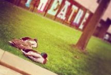 #NCLDuckwatch / The home of the campus ducks, who visit us every Spring