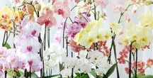 ORCHIDS / orchids, plants, flowers, Orchideen,