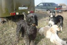 Полевые испытания / Полевые испытания собак борзых пород по зайцу. Тацинка, 2010г.